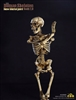 Human Skeleton Body 2.0 (New Metal Joint) - COO Model 1/6 Scale