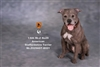 American Staffordshire Terrier - Version 002 - Mr Z 1/6 Scale Accessory